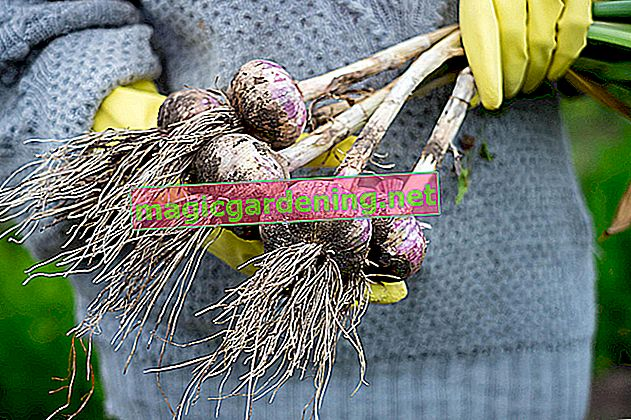 Cultivation of dragon fruit plants is easy