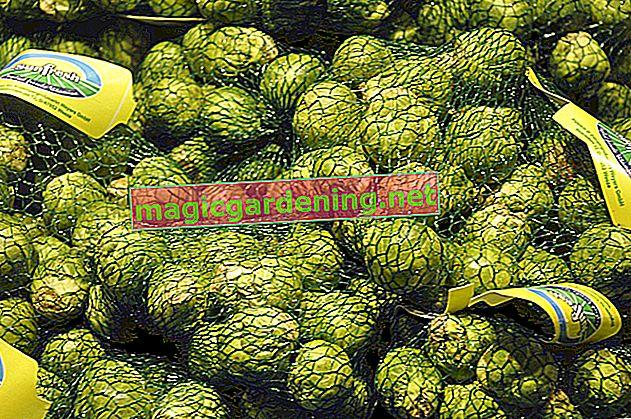 Užitak zimskog povrća: pohranite prokulice