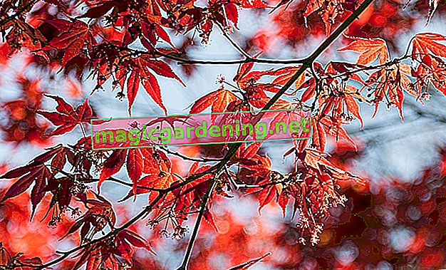 Japanese maple - care, cutting, diseases, wintering