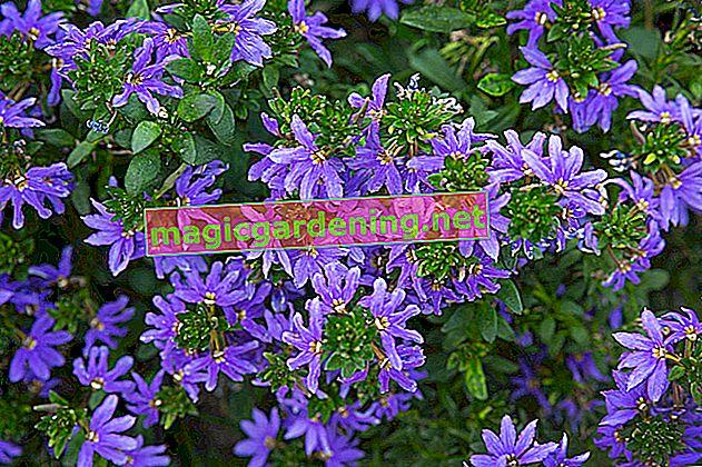 Cascate di fiori blu per il tuo balcone: il magnifico fiore a ventaglio