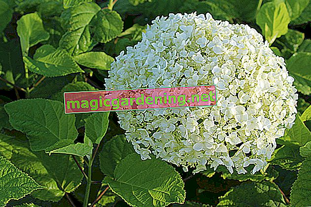 "Cut back snowball hydrangea ""Annabelle"" vigorously"