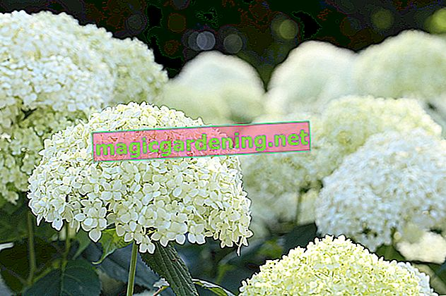 The hydrangea enchants with blooming flowers in the shade