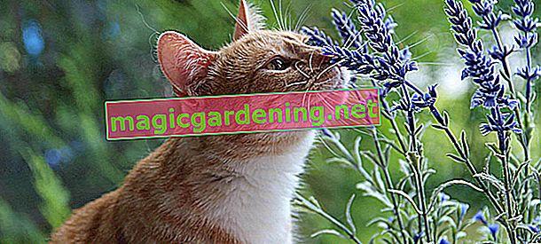 Orkide kediler için zehirli midir?