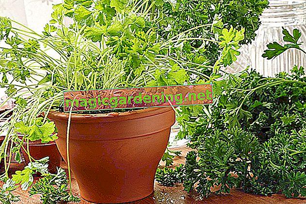 Puoi coltivare il crescione in una pentola?
