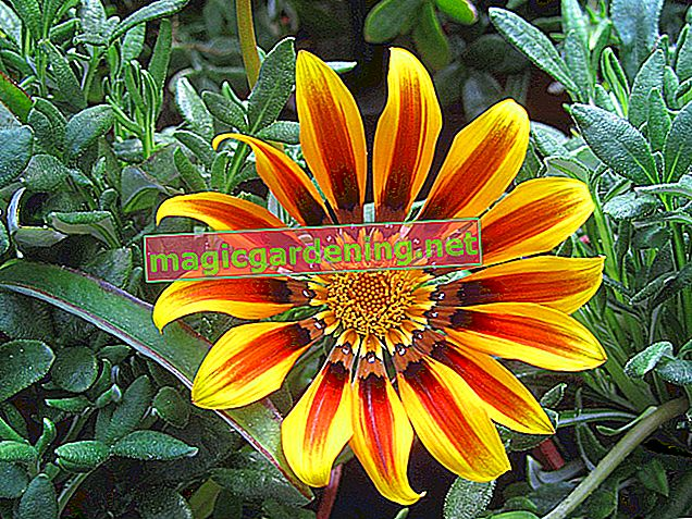 Gazania: The best care tips