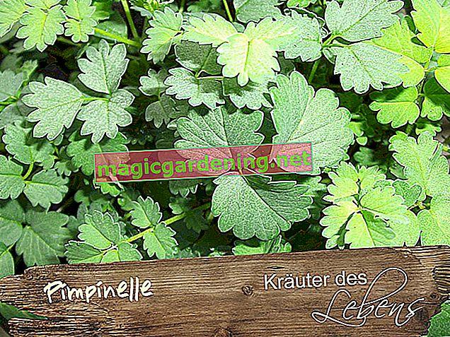 Pimpinelle - usata come erba medicinale e culinaria