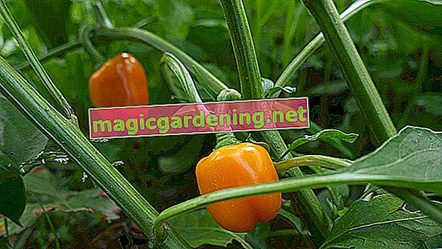 Crescere e prendersi cura dei peperoni in serra