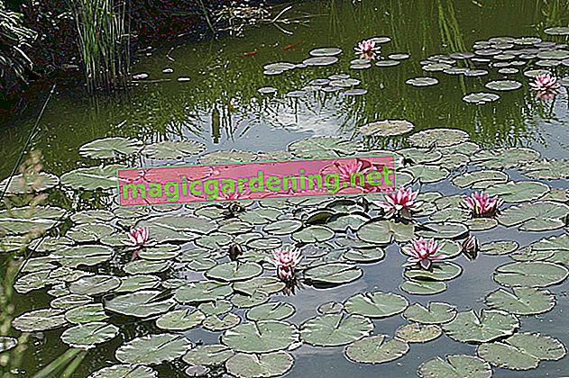 Algae eaters ensure clear water in the pond