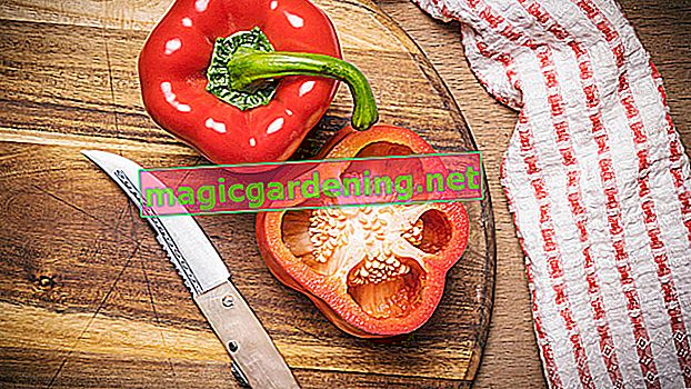 Berba paprike - na to treba obratiti pažnju