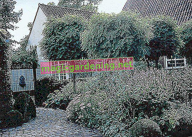 An evergreen ball tree enhances the front yard