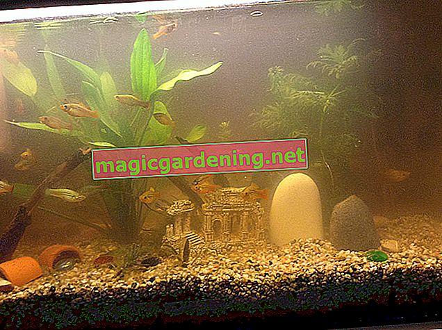 Filtrirajte vodu u akvariju Efeututeom