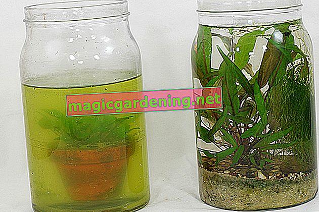 Lumache della vescica nell'acquario - aiutanti agili