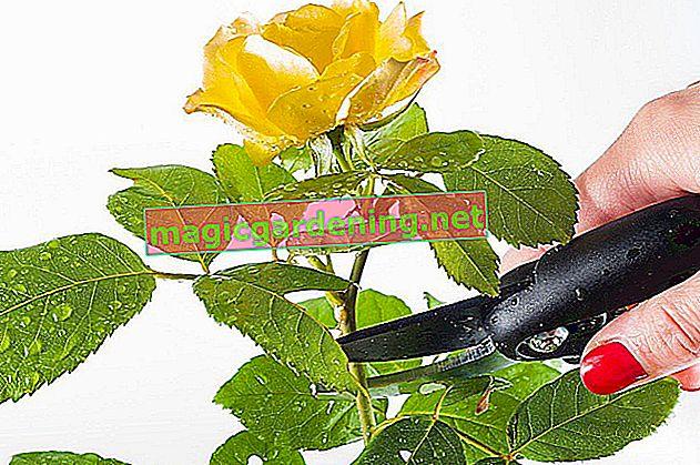 Qual è il modo migliore per conservare una rosa?