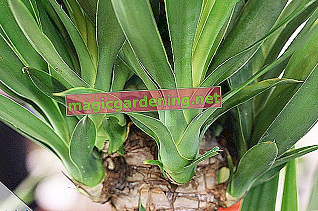 Cosa fare quando la palma yucca diventa foglie marroni