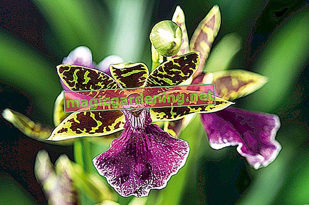 Prendersi cura delle orchidee correttamente senza terra: è così che funziona