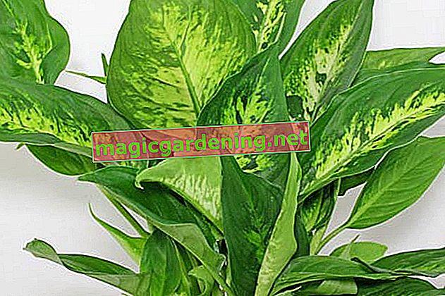 Dieffenbachia: cura e varietà