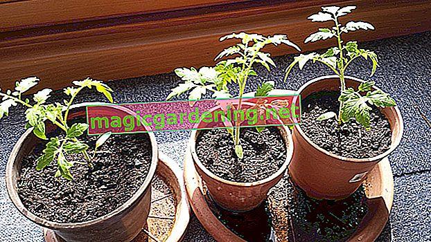Istruzioni: estrai la cipolla ornamentale dai semi