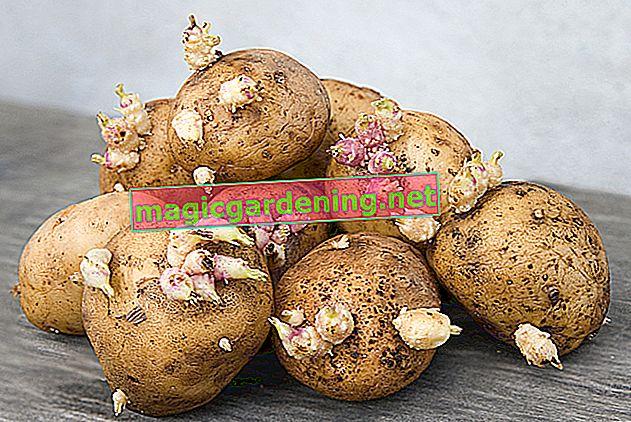 Quanto sono velenose le patate