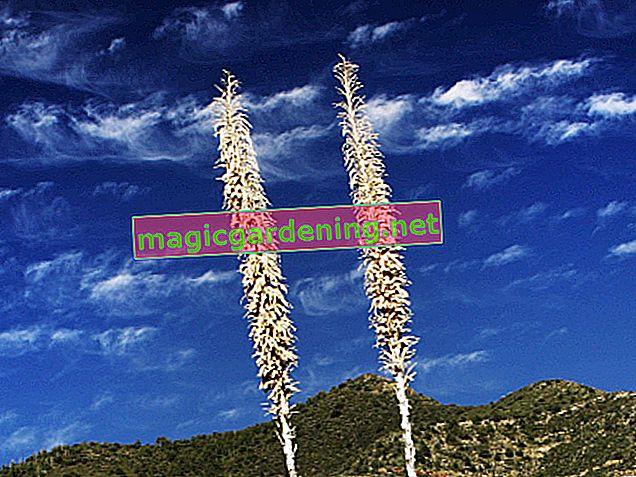 Morate li odrezati izblijedjeli cvijet na palmi yucca?