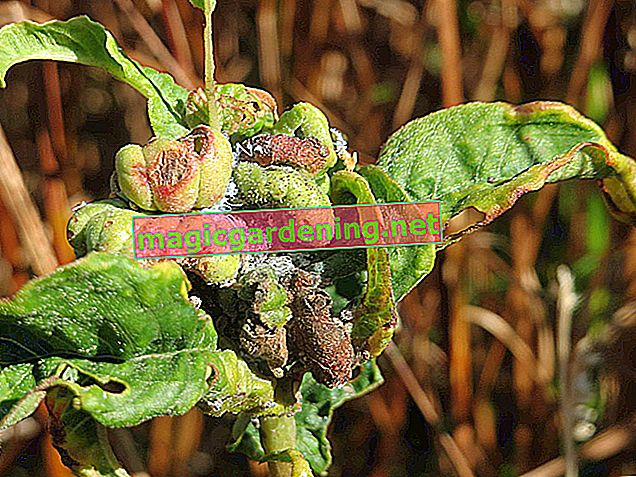 Recognize and combat diseases in the laurel cherry