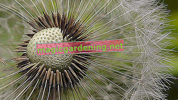 Yabani sarımsaktan tohum toplayın ve bunları çoğaltmak için kullanın