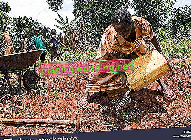 Planting a Brazil nut tree - does it work?