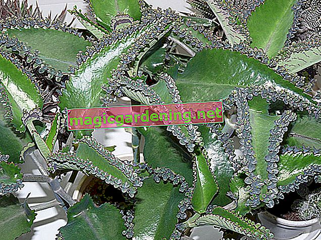 What care does the Kalanchoe Daigremontiana (Goethe plant) need?