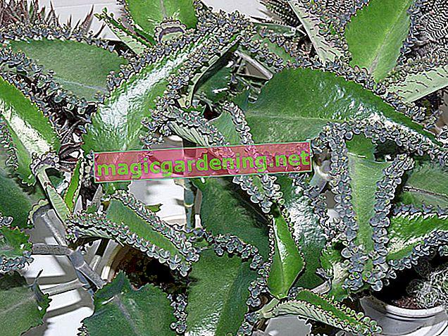 W trosce o Kalanchoe Pinnata (liść lęgowy)