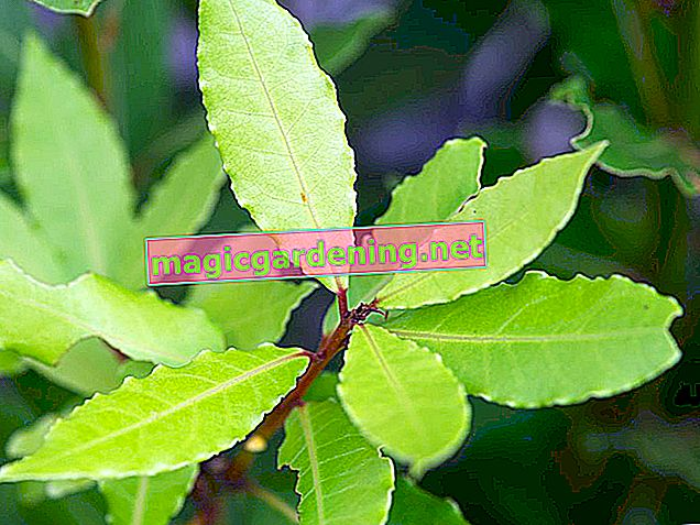 Real laurel - overwinter and care