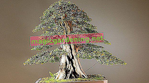 Držite bor kao bonsai