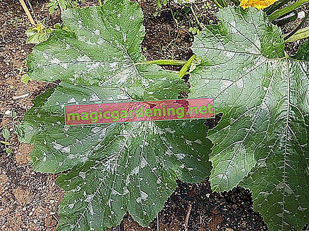 Identification et lutte contre l'oïdium sur les plants de courgettes