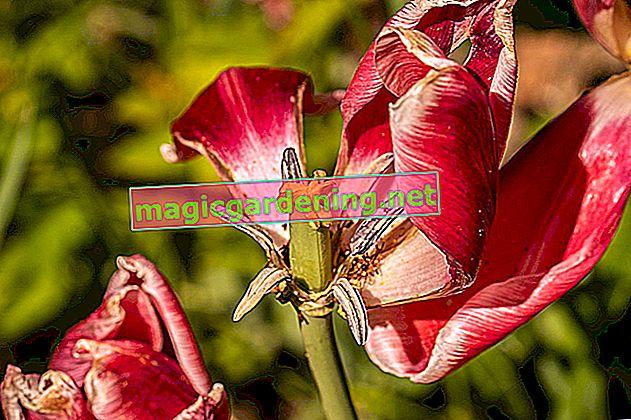 Dopo la fioritura è prima della fioritura: è così che tratti i tulipani appassiti