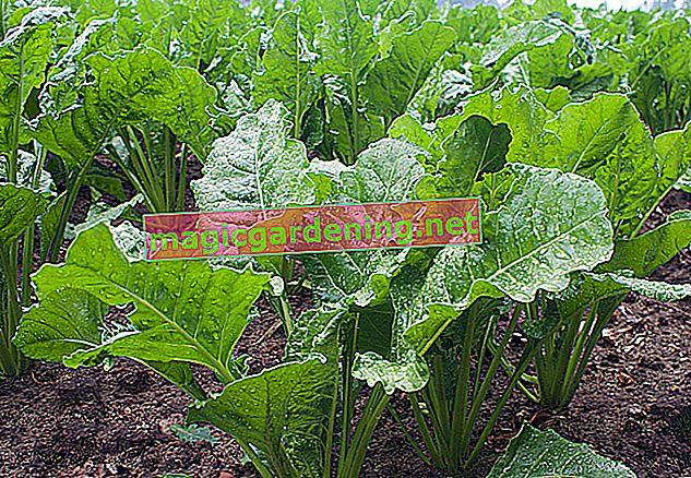 Yılan salatalık ekimi - işte böyle daha iyi