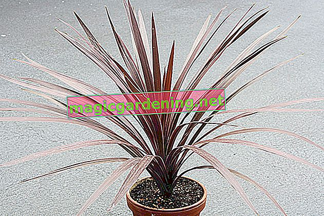 Proper care of the Cordyline australis club lily variety