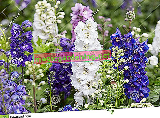 Larkspur is usually perennial