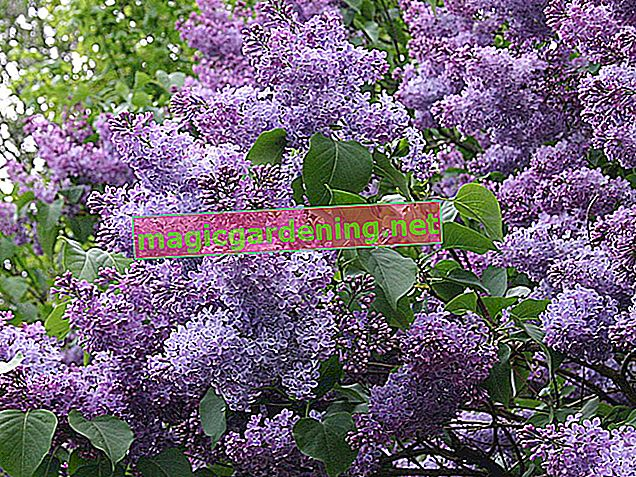 Plant and care for lilacs properly in the tub