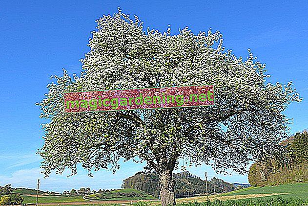 Stablo jabuke i njezino korijenje