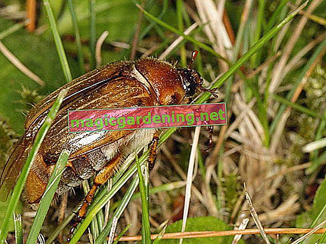 Haziran böcekleri - tespit edin, önleyin ve savaşın