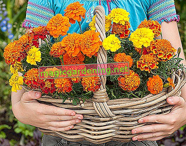Hafif mikrop öldürücü kadife çiçeği doğru şekilde ekin