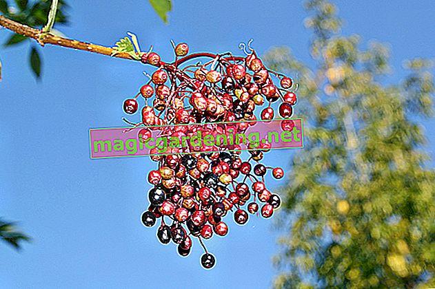 When do experts harvest their elderberries?