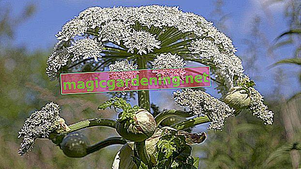 Reconnaître la berce du Caucase - caractéristiques importantes de l'arbuste Hercule