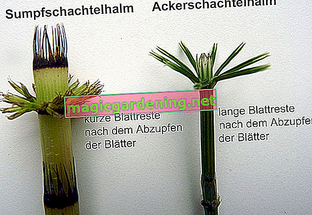 Difference between field horsetail and marsh horsetail