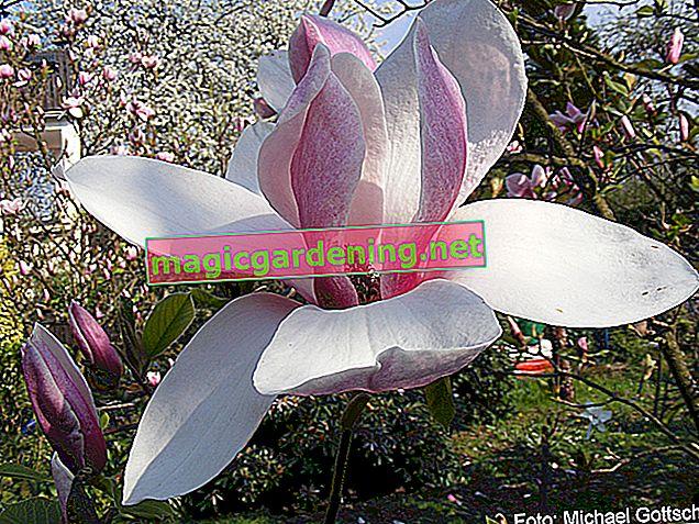 Comment cultiver avec succès des magnolias à partir de graines de magnolia