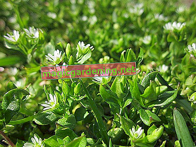 Chickweed - this is how you successfully fight the weeds