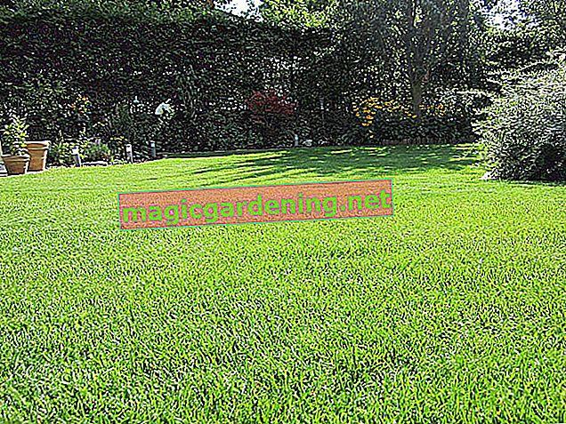 Renouveler la pelouse: semer ou scarifier à nouveau