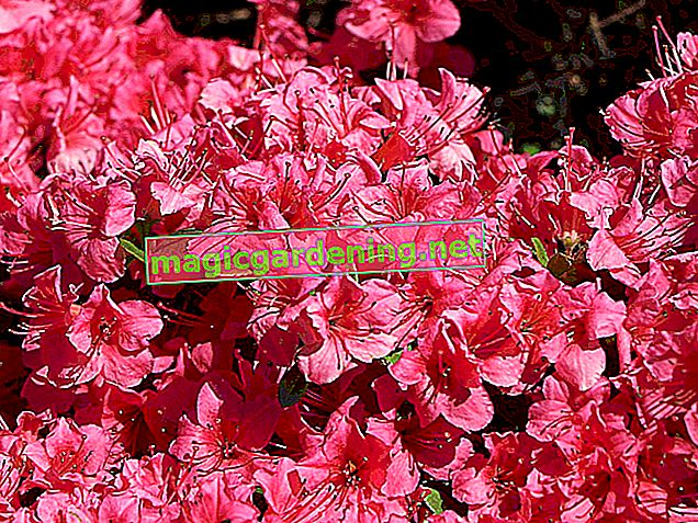Japanese azalea - location, plants, propagation