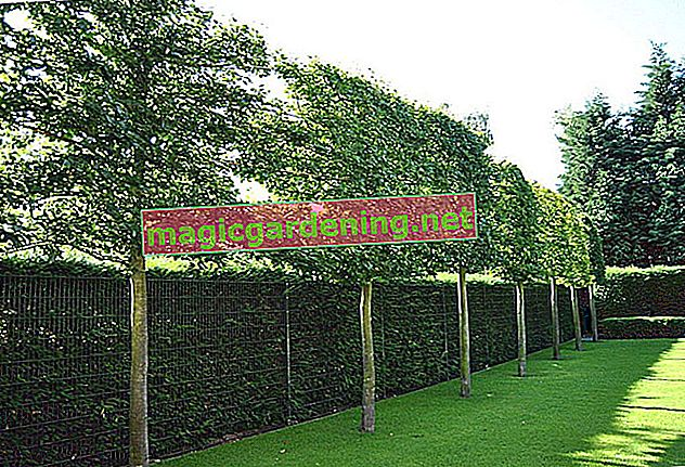 Plant trees as privacy screens in the garden