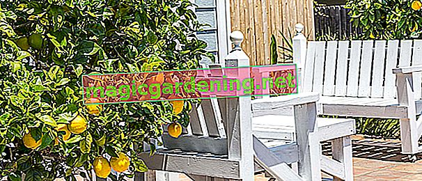 Cutting the lemon tree correctly - instructions in the tutorial