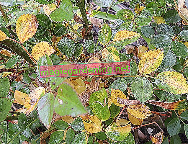 Why do roses get brown leaves?