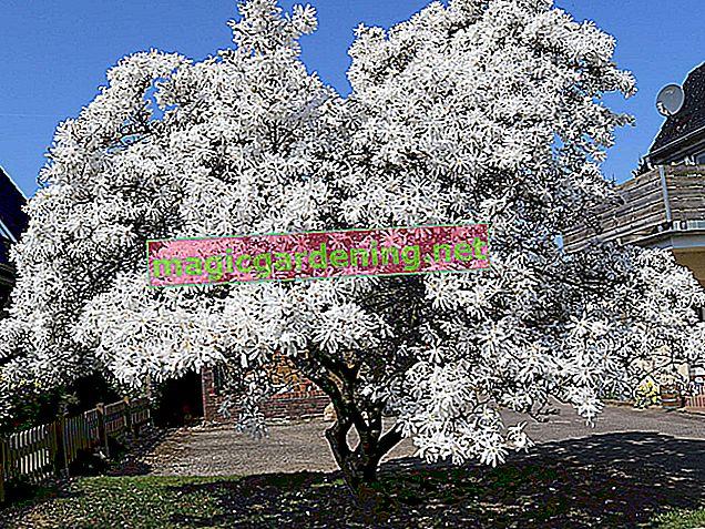 Zvjezdana magnolija - pronađite pravo mjesto